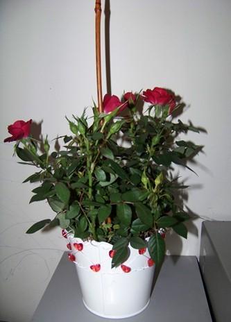 flora2000 mini rose bush