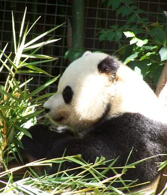 ww panda